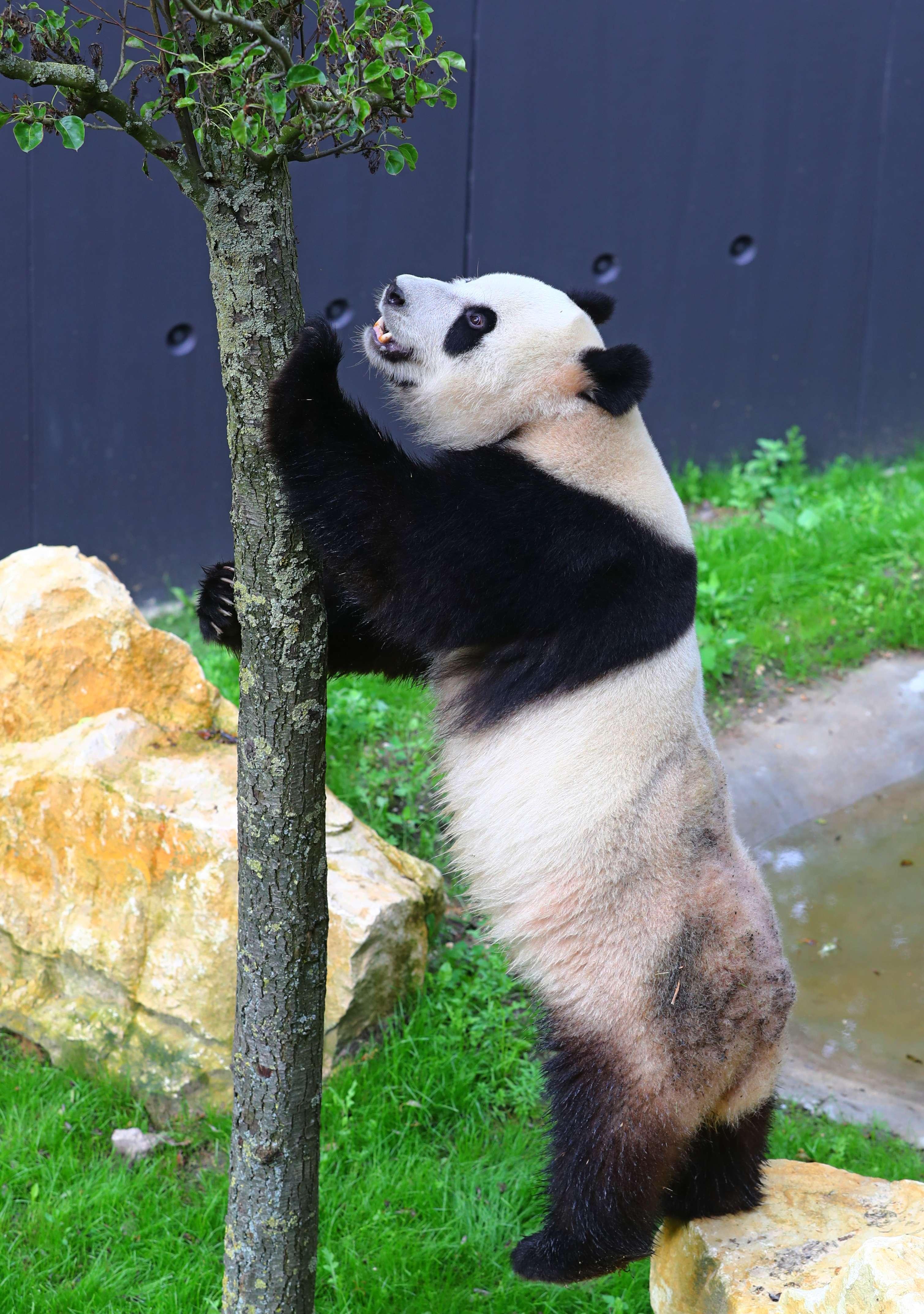 Two giant pandas make enchanting debut at Dutch zoo