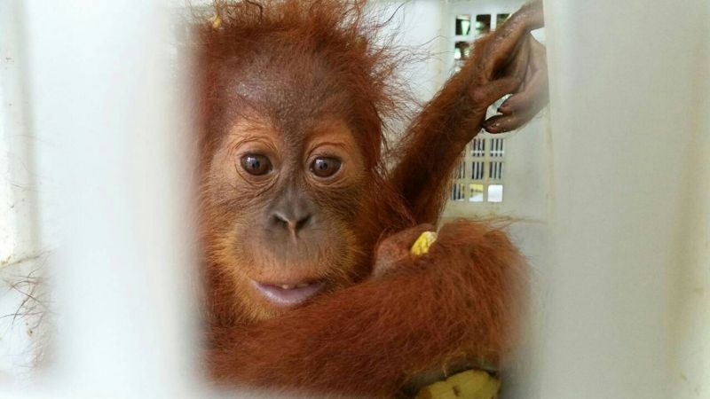 Man stopped on Thai border with orangutans, tortoises, raccoons
