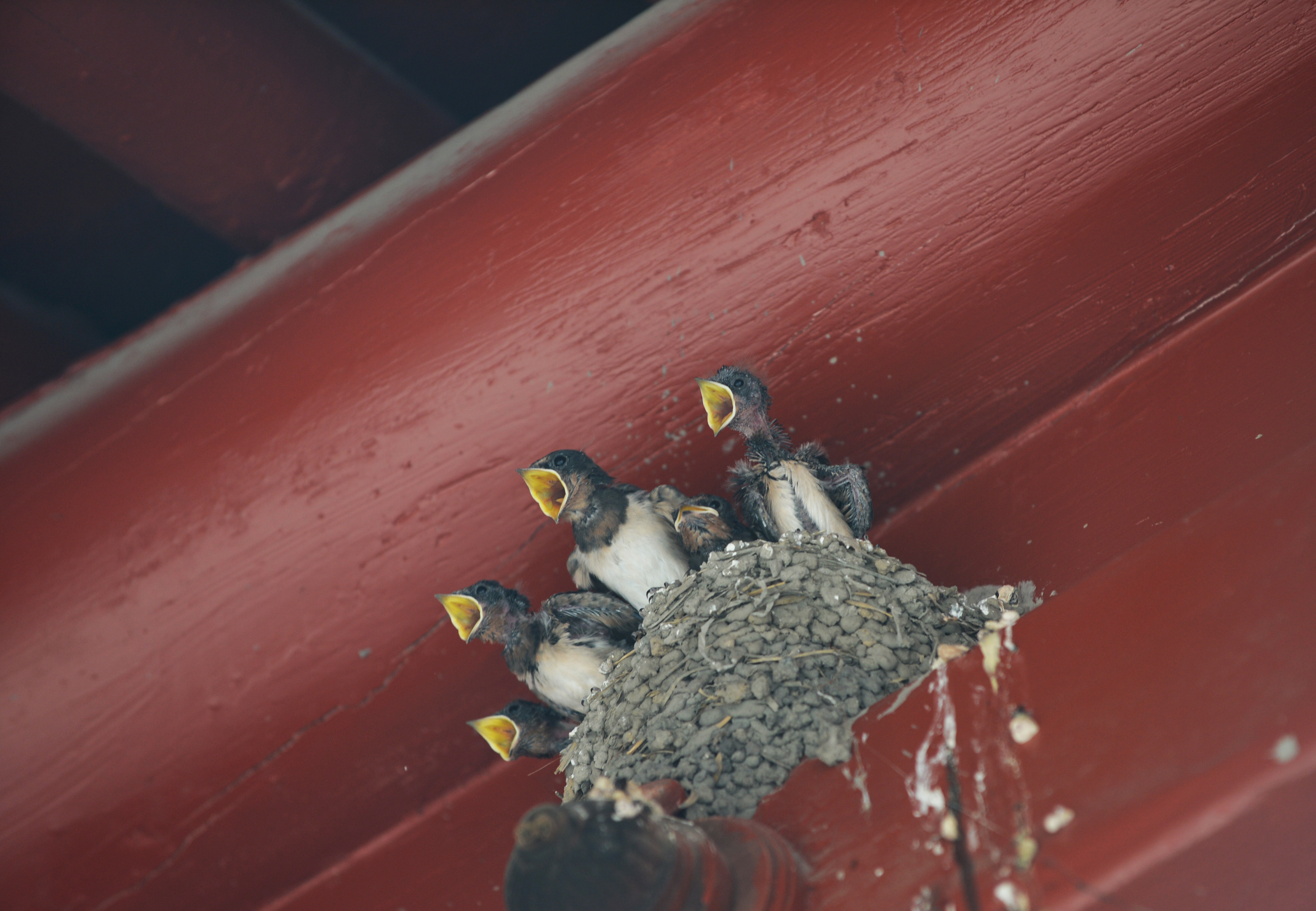 Swallows return to a greener capital
