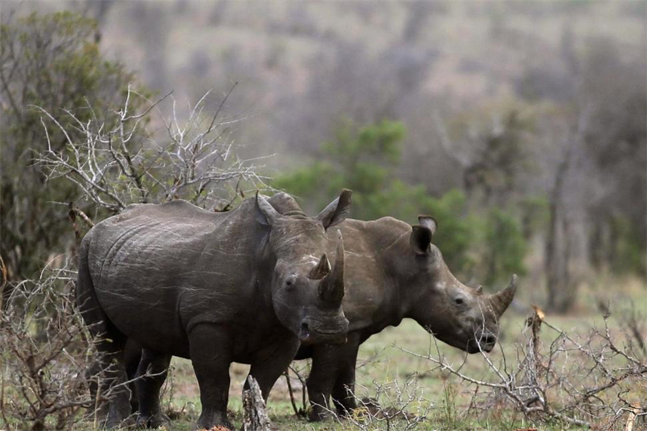South Africa moves ahead on domestic trade in rhino horn