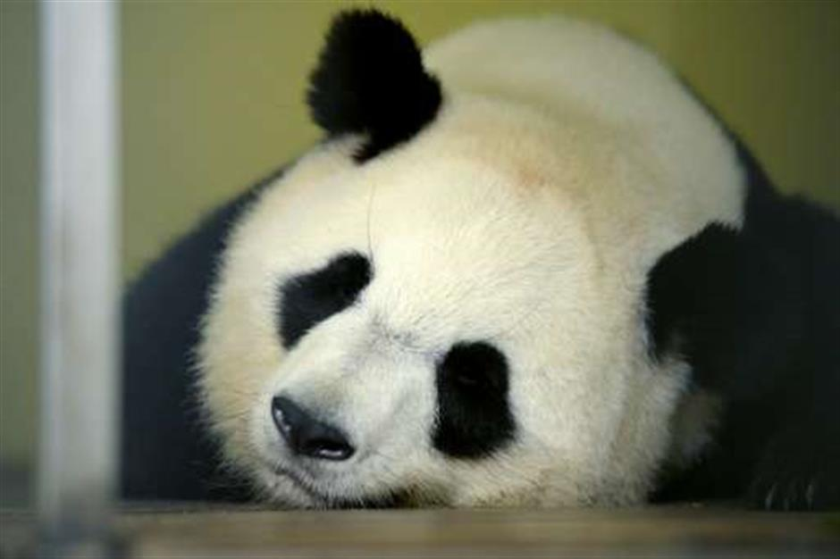 Bienvenue! French zoo announces first ever panda pregnancy