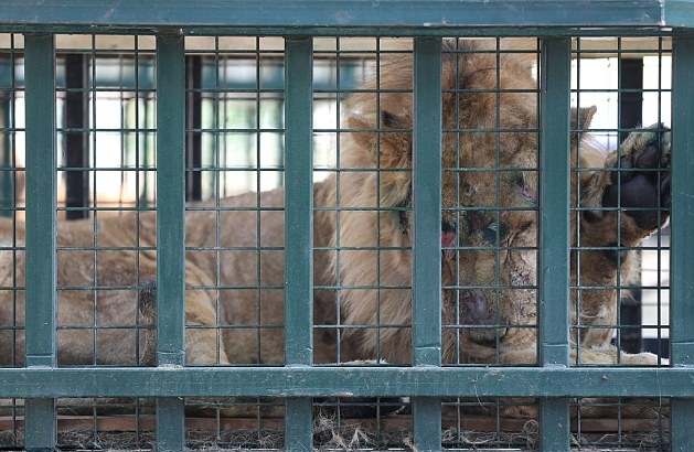 Paws, jaws and claws: checkups await animals rescued from Aleppo zoo