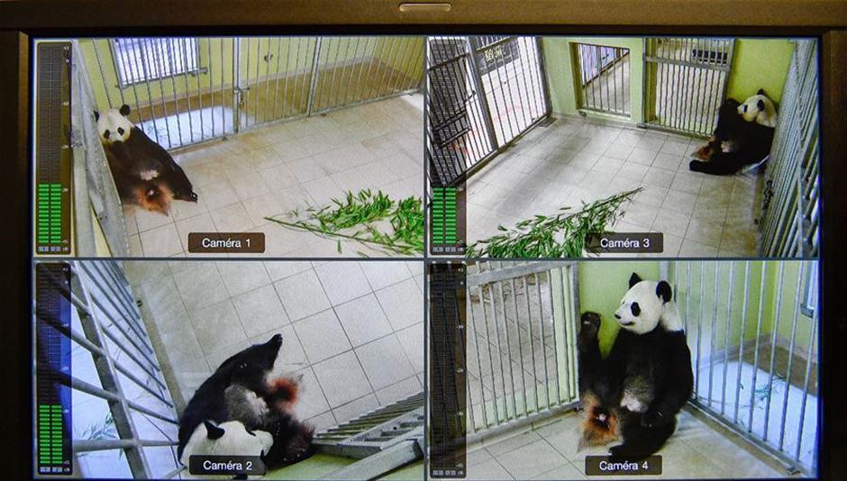 One cub of giant panda Huan Huan's twins died: French zoo