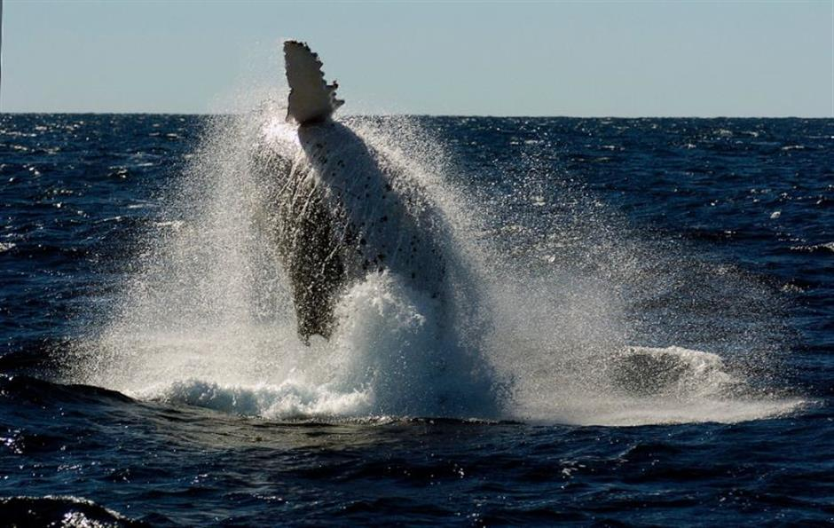 Passenger knocked out as whale slams into Australia boat