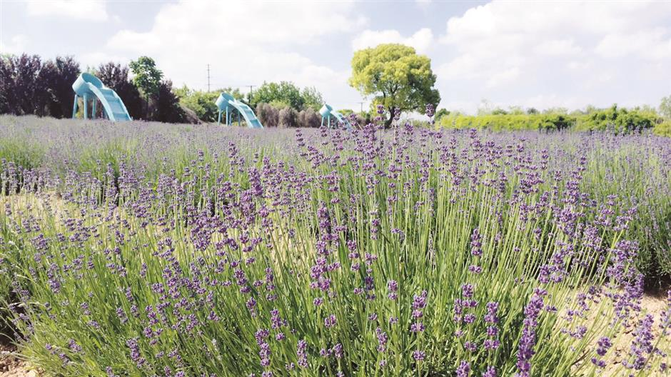 Romance amid a sea of fresh lavender