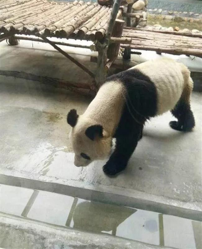 Sick and thin panda pictures rile netizens