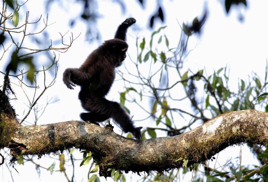Rare gibbons captured on lens