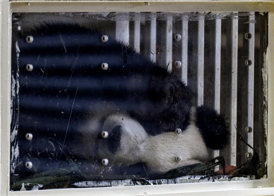 Malaysian-born panda cub returns to China