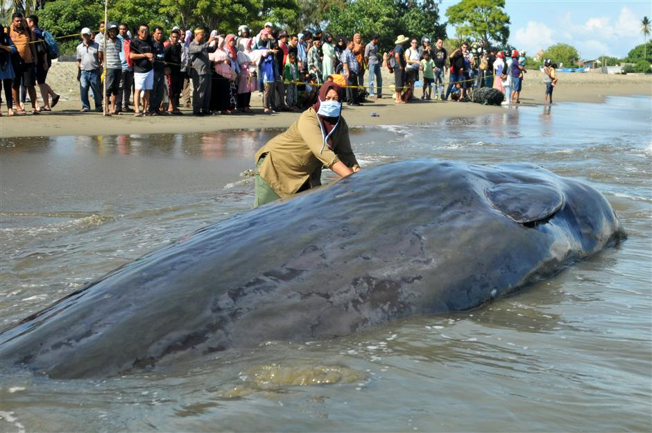 4 stranded sperm whales die in Indonesia