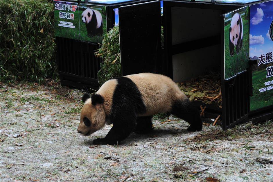 China releases panda pair into wild