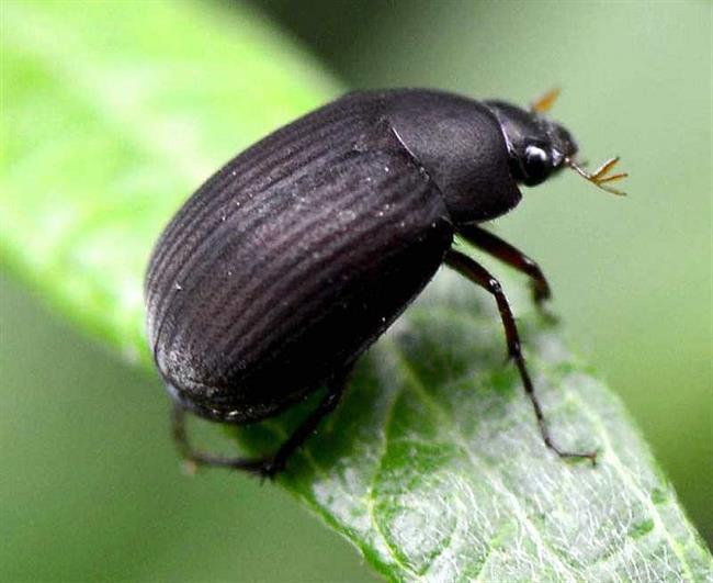 Beetle threat to agriculture found and destroyed