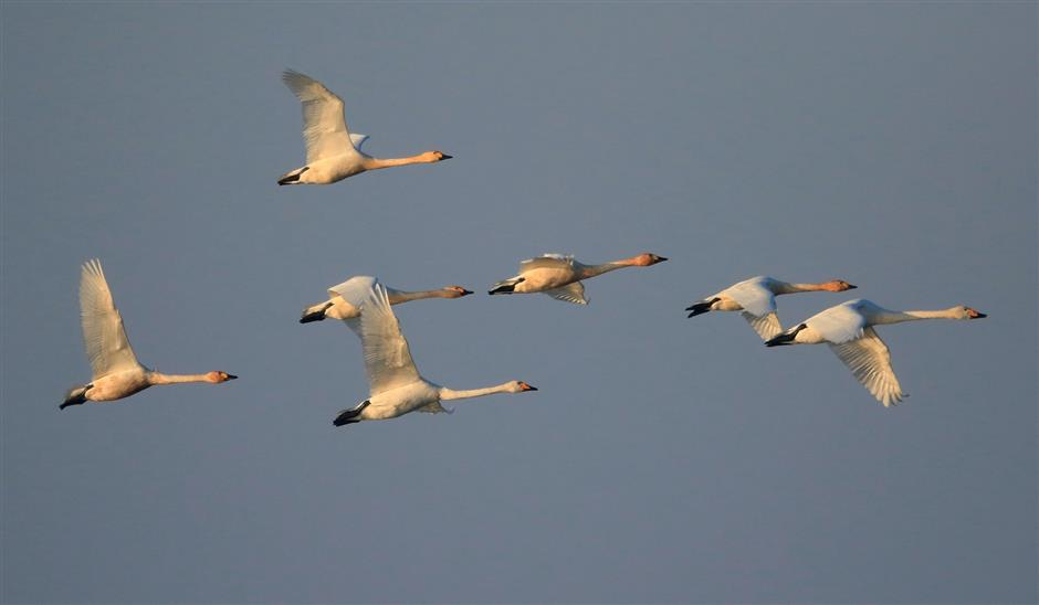 Tundra swans spend winter at Chongming Island reserve