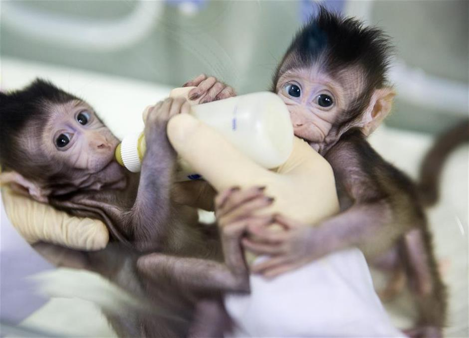 Researchers overseas hail China's first monkey clones as advance for better human disease research