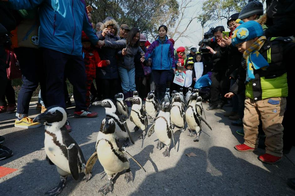 Zoo delight as penguins take a stroll