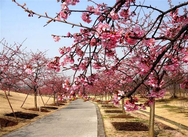 First wave of cherry blossom flowers at Shanghai Botanical Garden