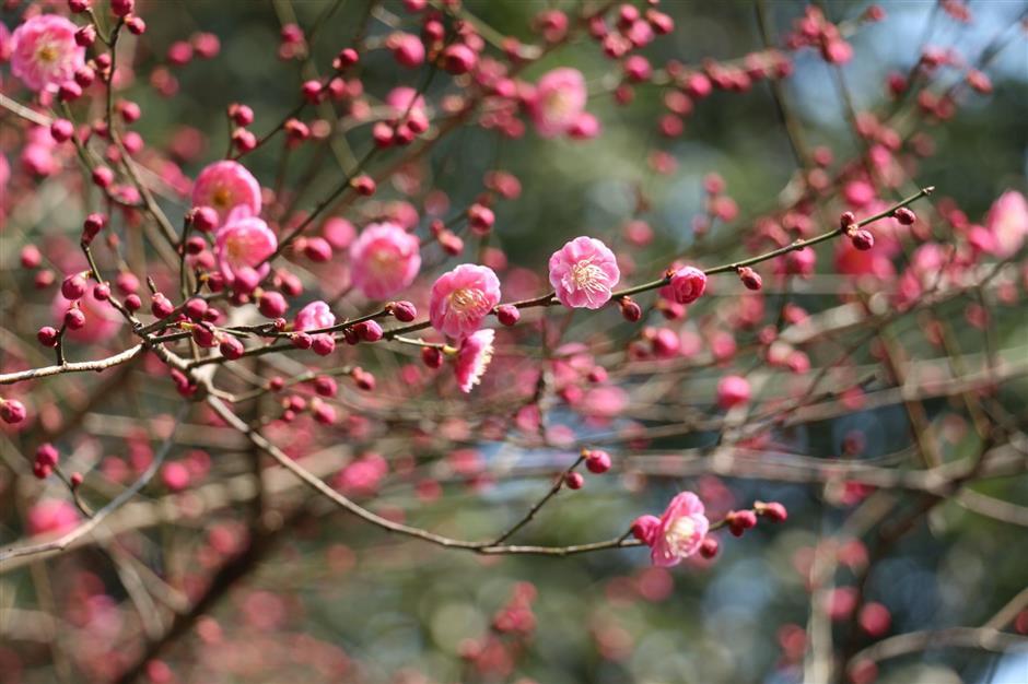 Spring in Hangzhou is blooming marvelous