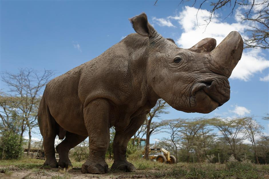 IVF is last hope to save northern white rhino