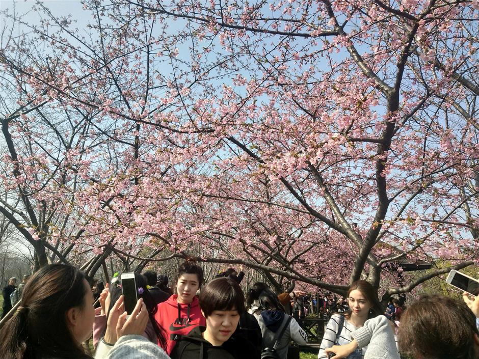 Cherry blossom festival starts in Gucun Park