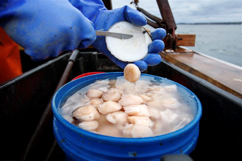 Increased scallop harvest sets lower store price