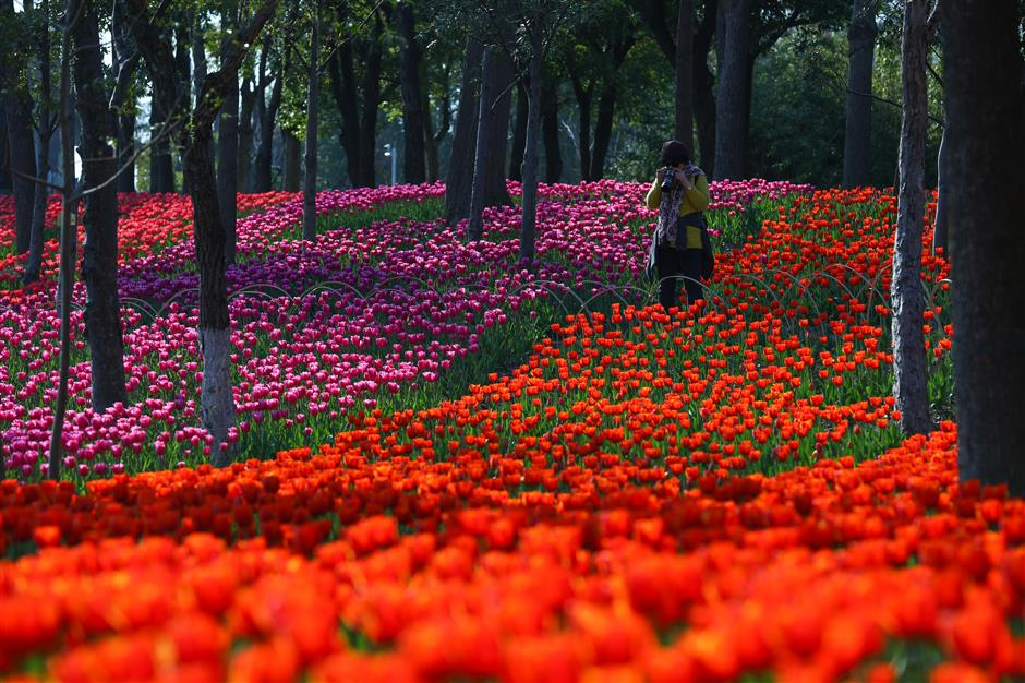 Carpets of tulips herald spring in one of city's iconic parks