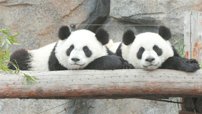 Baby pandas among the many city attractions for 3-day holiday