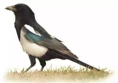 The humble magpie takes top spot as Shanghai residents' favourite bird