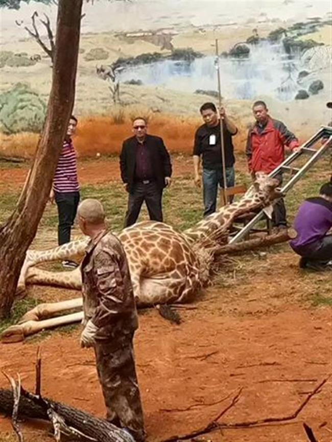 Giraffe dies after becoming stuck between branches at Kunming zoo