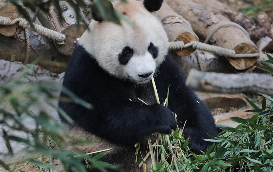 Overseas-born pandas meet public in southwest China