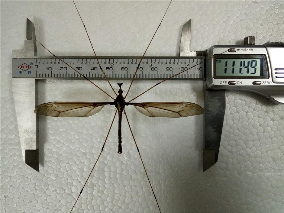 Wow! Super-sized mosquito found in southwest China's Sichuan