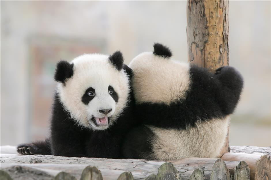 6-month-old panda cubs get names