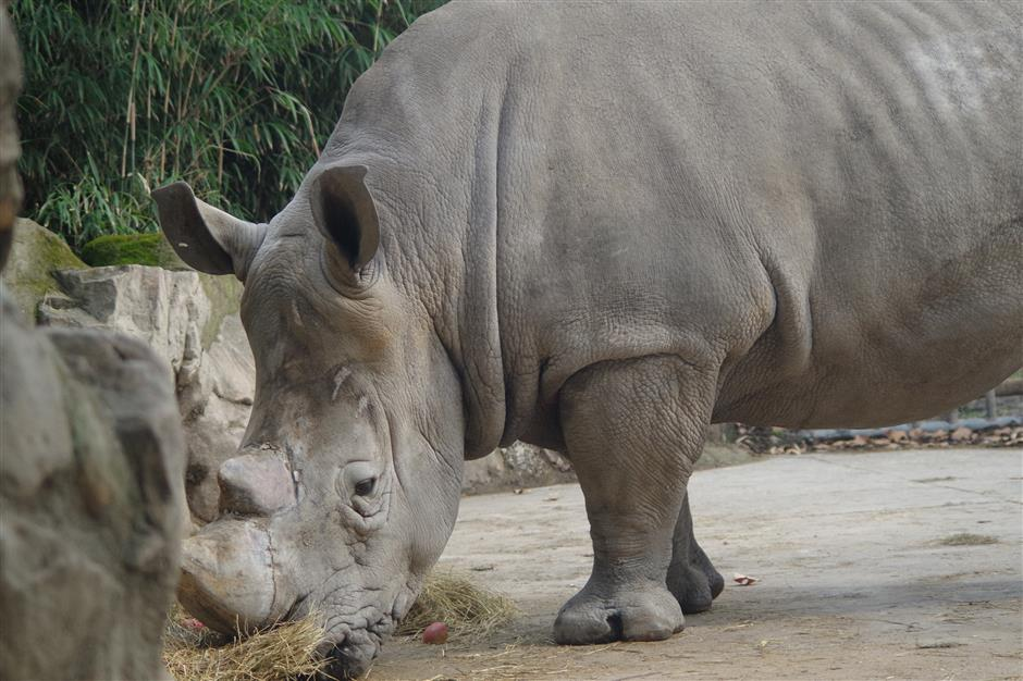 City's zoo helping to save the rhino