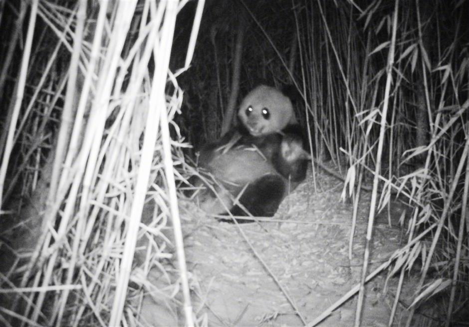 Cameras capture wild panda cubs in former quake site