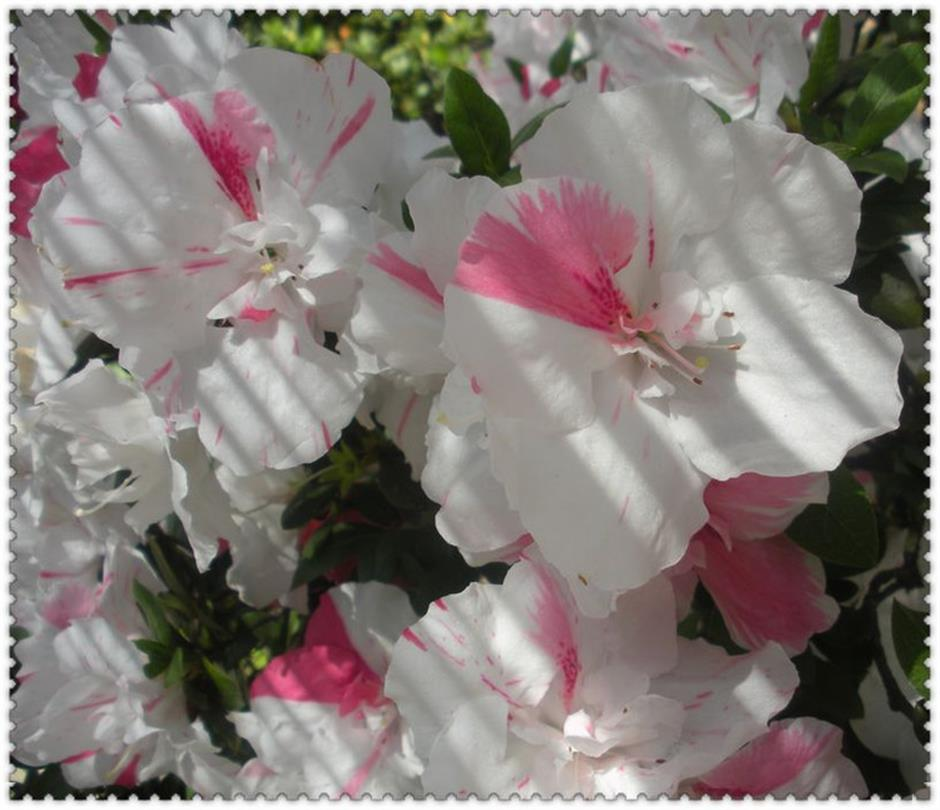He's blooming passionate about rhodies