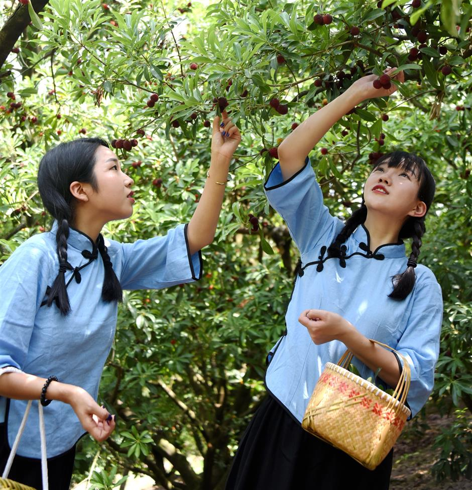 Xianju lures Shanghai tourists with sweet and juicy waxberries