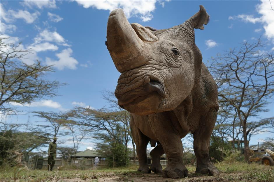 Scientists make progress in rescuing endangered northern white rhinos