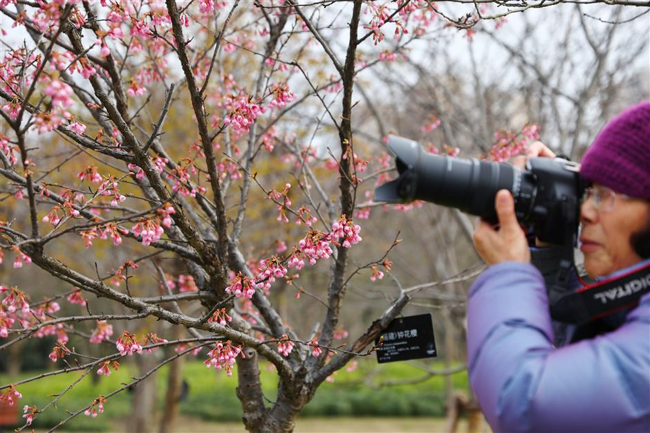 Mild weather sees first cherry blossoms bloomingearly