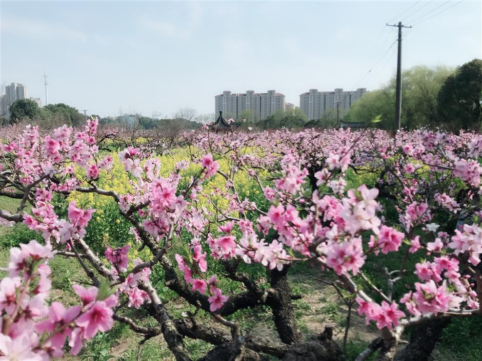 Peach blossom festival begins this weekend