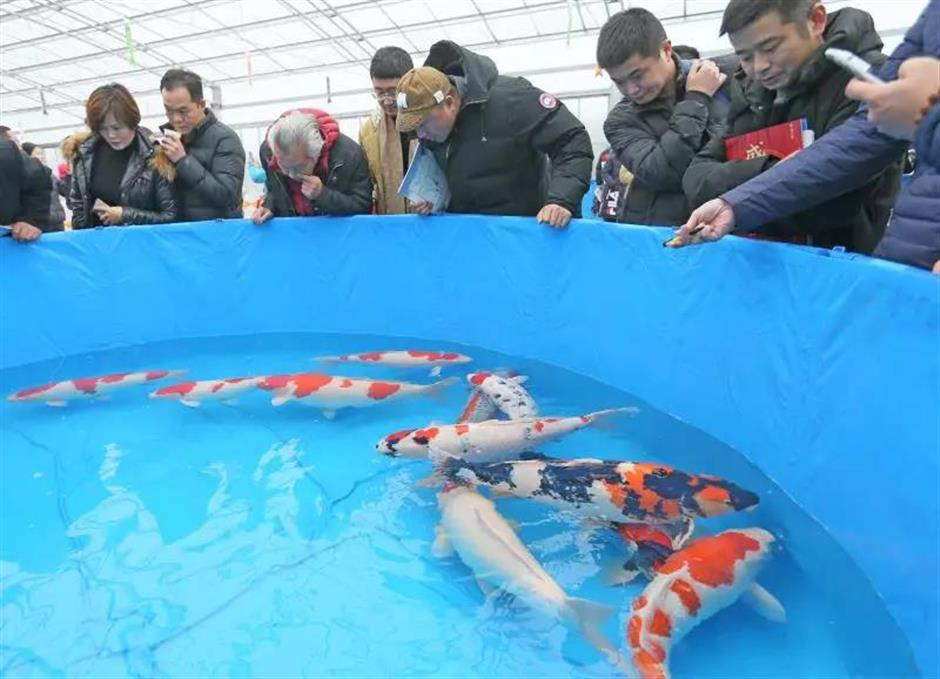 Large-scale koi breeding center open in Maogang