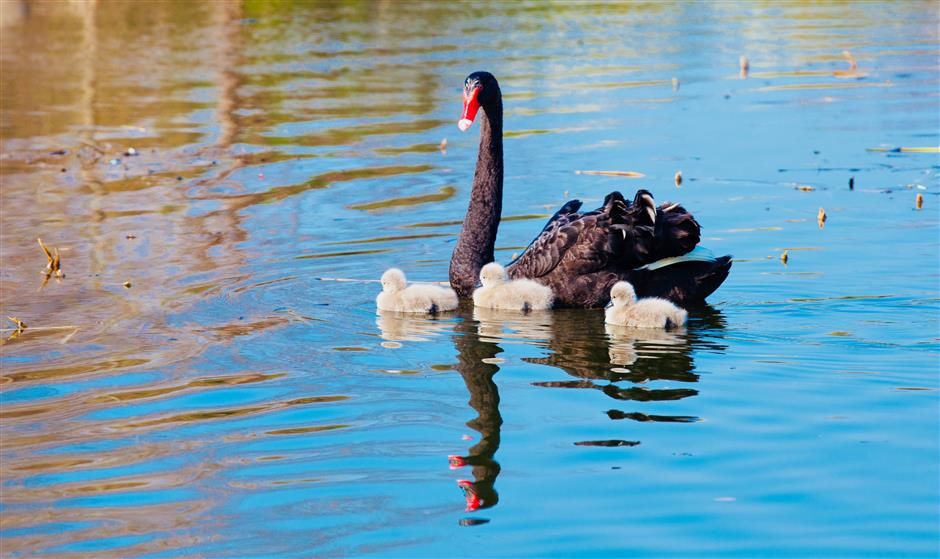 Black swan eggs stolen, leaving parents 'depressed and scared'