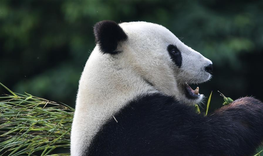 Giant pandas return to China after years in US