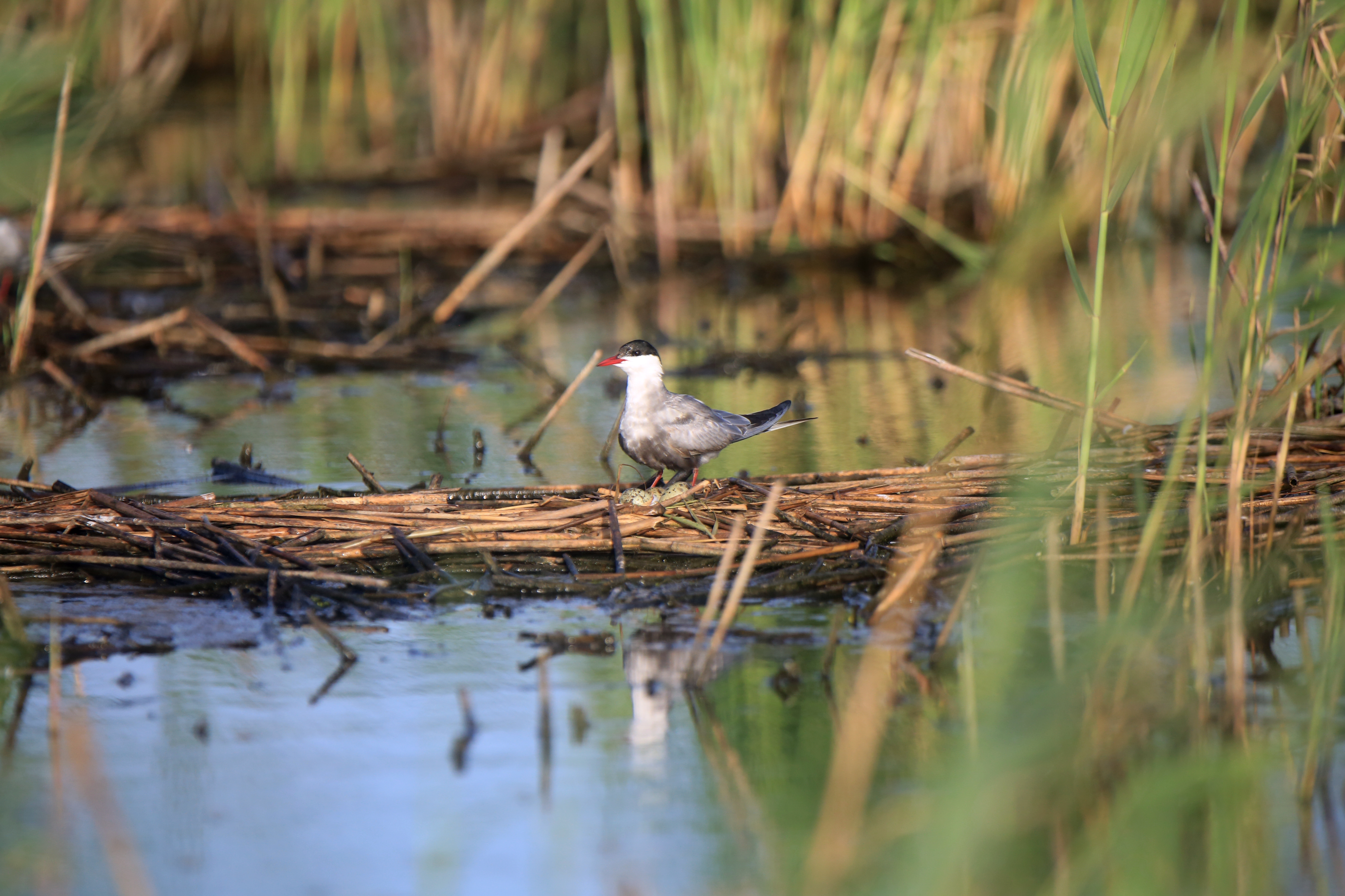 Conservation effort bringing the birds back to our wetlands