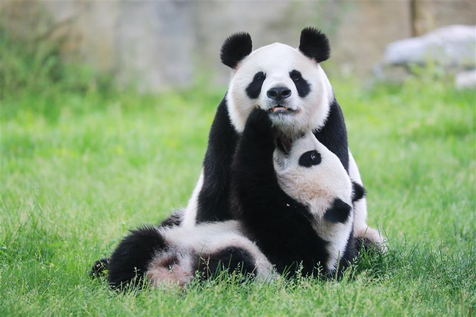 It's Qi Qi: Pudong giant panda cub finally has a name