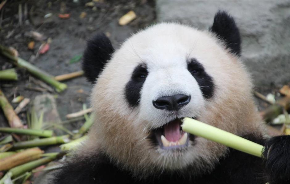 Shanghai Zoo set to receive 2 new giant pandas
