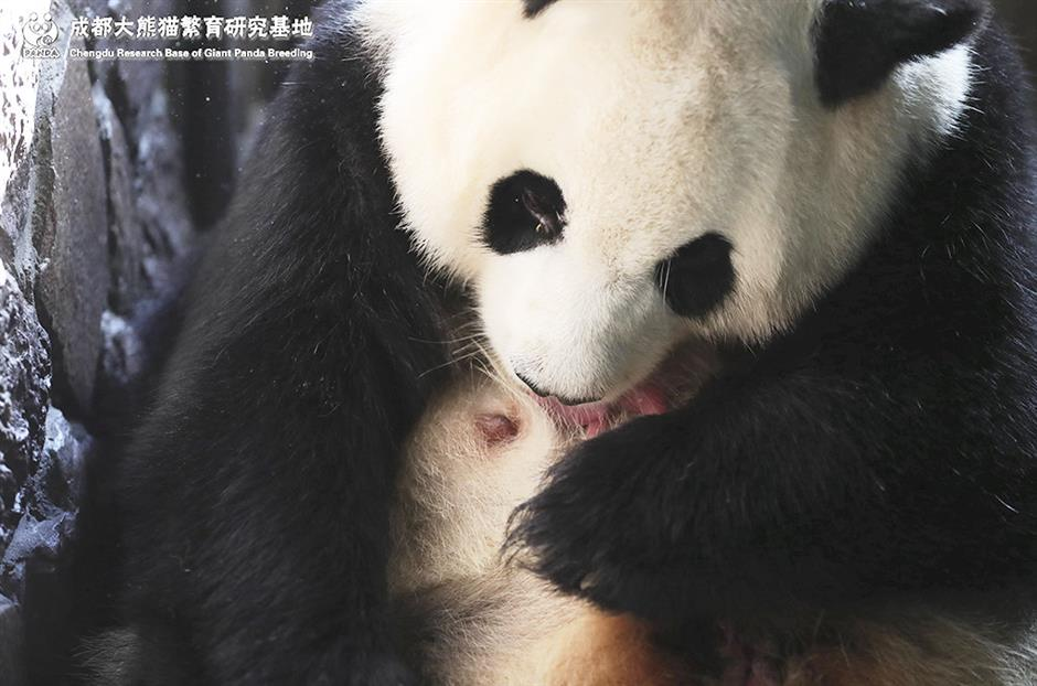 First captive panda cub of the year born in China