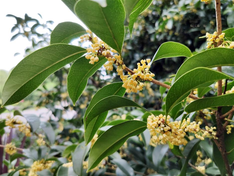 Osmanthus blooms as temperature drops