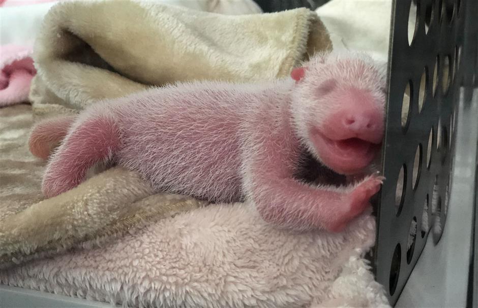 Panda twins born in southwest China