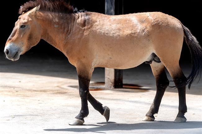 China has over 600 Przewalski's horses