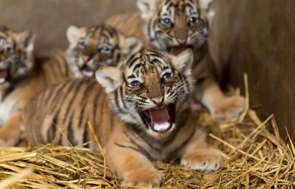 Bengal tiger has quadruplets at Shanghai Zoo