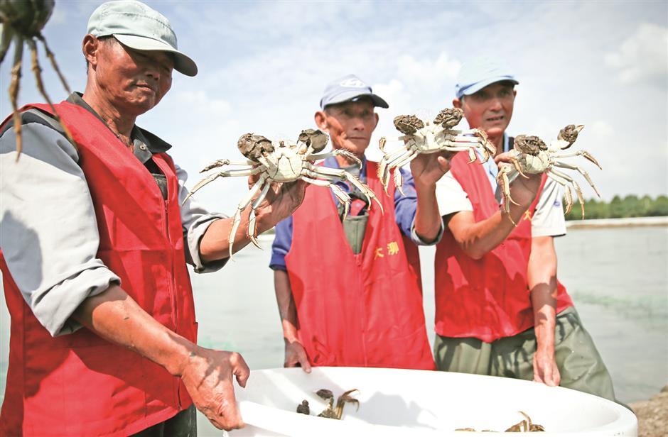 Bumper harvest of hairy crabs