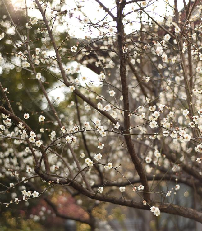 Mount Chaoshan celebrates plum blossoms with cultural activities